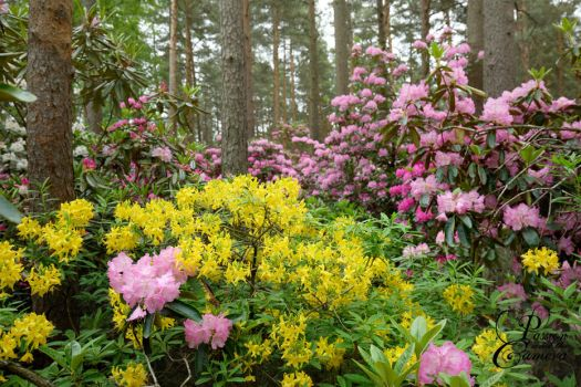 Rhododendron Paradise by PassionAndTheCamera