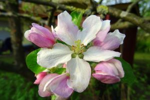 apple blossom by Mittelfranke