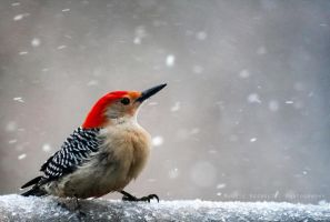 Red Bellied Woodpecker 3 by Maginater