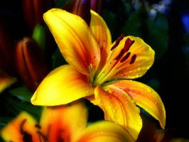 Golden Lilly (c) by friartuck40