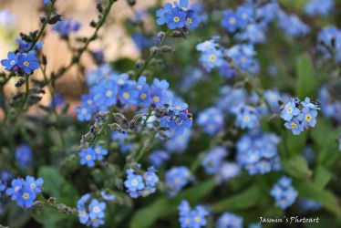 Forget me not flower by jasiemausie