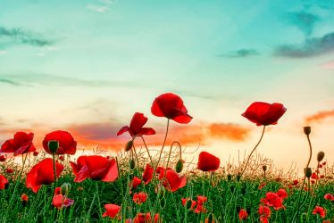 poppy field by Bootcoot