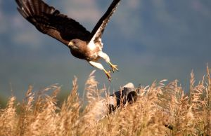 Swainsons Hawk by jdmimages