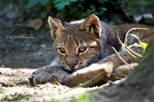 little lynx cub by PiTurianer