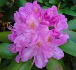 rhododendron spring '15 by ChasMandala