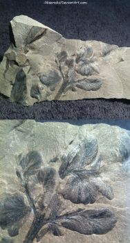 Palaeopteridium Sessilis Fern Fossil from Poland by Nisarialis