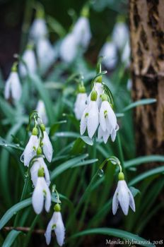 Snowdrop by amrodel
