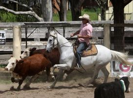 Stock - Horse Team Penning - 036 by aussiegal7
