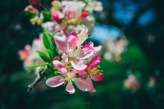 Apple Blossoms by cedarlili