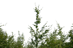 bush png by gd08