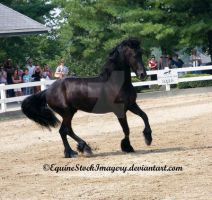 Friesian 9 by EquineStockImagery