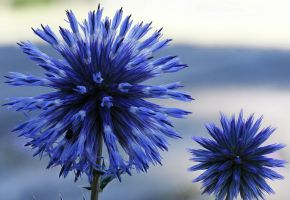 Taplow blue (Echinops ritro) by rajaced