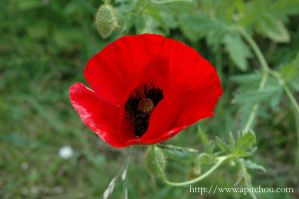 Coquelicot by honeymil