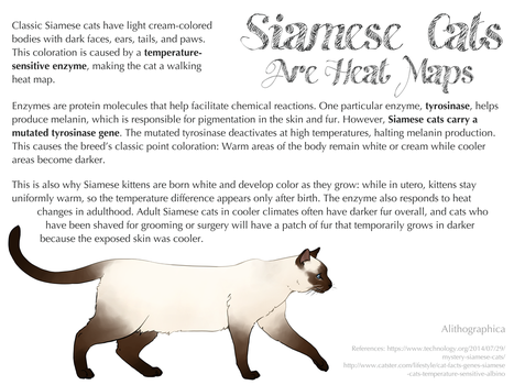 Science Fact Friday: Siamese Cats Are Heat Maps by Alithographica
