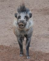 Hello there Javelina by oddjester