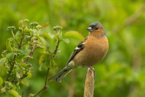 Chaffinch by thisable