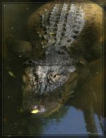 American Alligator 40D0017017 by Cristian-M