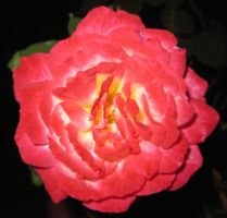 Rose 052115 05 by acurmudgeon