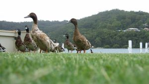 Ducks 4 by chickitty-stock