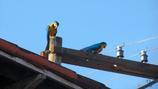 Blue-and-yellow macaws 02 by jadersol