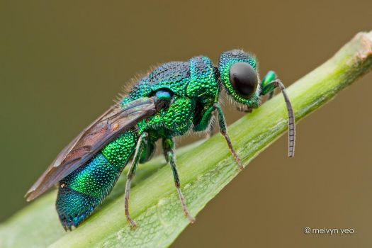 Cuckoo wasp by melvynyeo