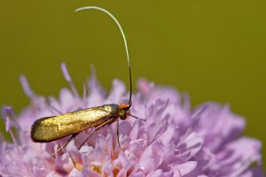 Golden moth by blackasmodeus