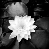 Water lilly by pyramidhead82