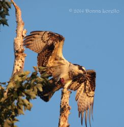 Osprey fledgling at sunset by arcadian7