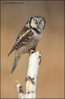 Northern Hawk Owl on stump by gregster09