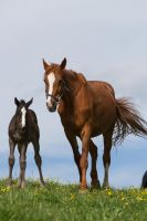 WB Foal and Broodmare Stock I by LuDa-Stock