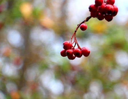 Sorbus - Photography by Lyraven