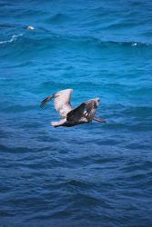brown pelican 6.9 by meihua-stock