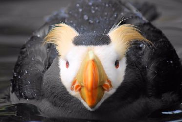 Untitled Tufted puffin by snowboundhound70