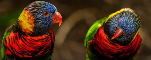 Lorikeets by Laurkin