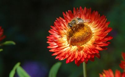 The Bee and the Strawflower by artbypaulfisher