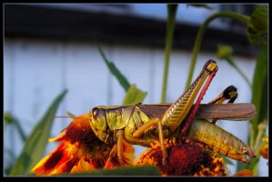 Sunlit Grasshopper On A Flower by JocelyneR