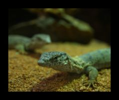 Lizards by photographer-amymay