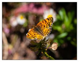 Mylitta Crescent Butterfly by Frostola