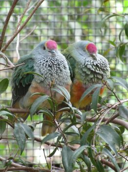 Rose-Crowned Pigeons by Shrewdy