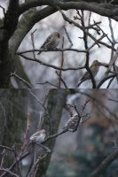 Common Redpoll by KingOvRats