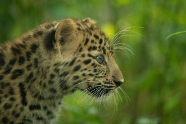 Leopard Cub 1 by Lakela
