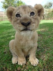 Lion cub close up by Rominique