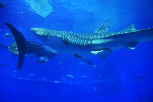 Whale sharks 1 - Okinawa by wildplaces