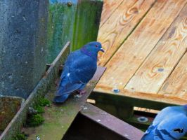 Pigeon In Rusty Girder by wolfwings1