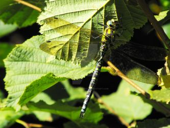 Dragonfly 2 by photos-for-cookies