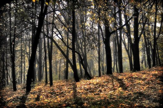 gold forest by iacobvasile