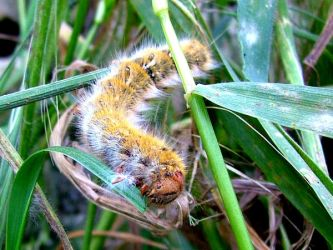 Painted lady Caterpillar by Faunamelitensis