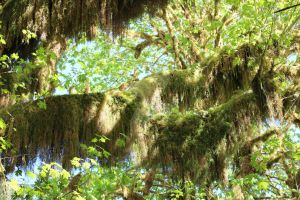 Hoh More Moss Trees 3 by seancfinnigan