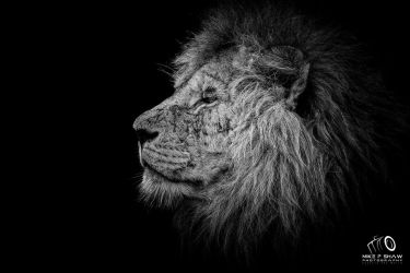 Study Of A King by MikeFShaw
