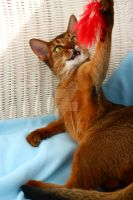 Abyssinian cat by Apollinarya